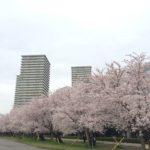 多摩川の花見